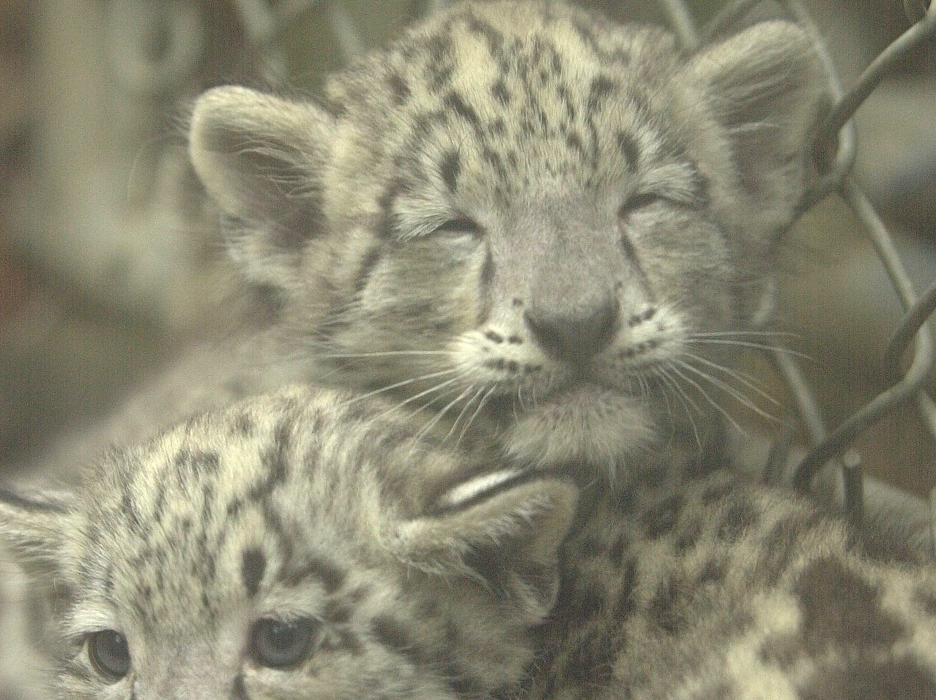 Two month-old snow leopards Breaux, top, and Paige snuggle together Wednesday at the Knoxville Zoo. The pair are first snow leopards born at the zoo in 14 years and made their public debut on Wednesday. 2003.