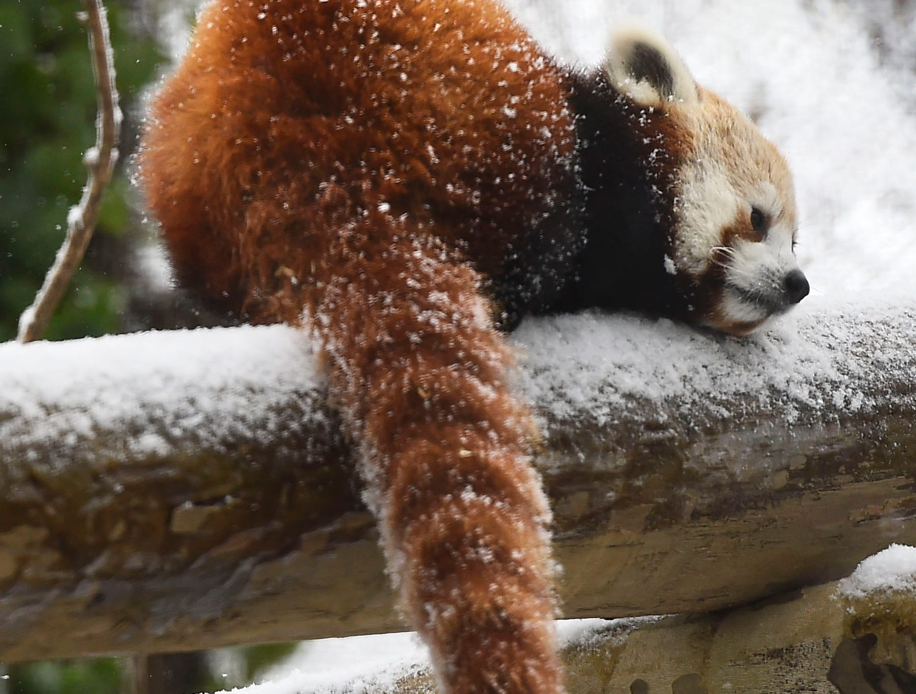 A red panda cub sleeps on a snowy perch at its outdoor habitat Wednesday, Feb. 18, 2015, at the Knoxville Zoo. Two male cubs were born June 23, 2014, to mother Scarlett, and father Madan.