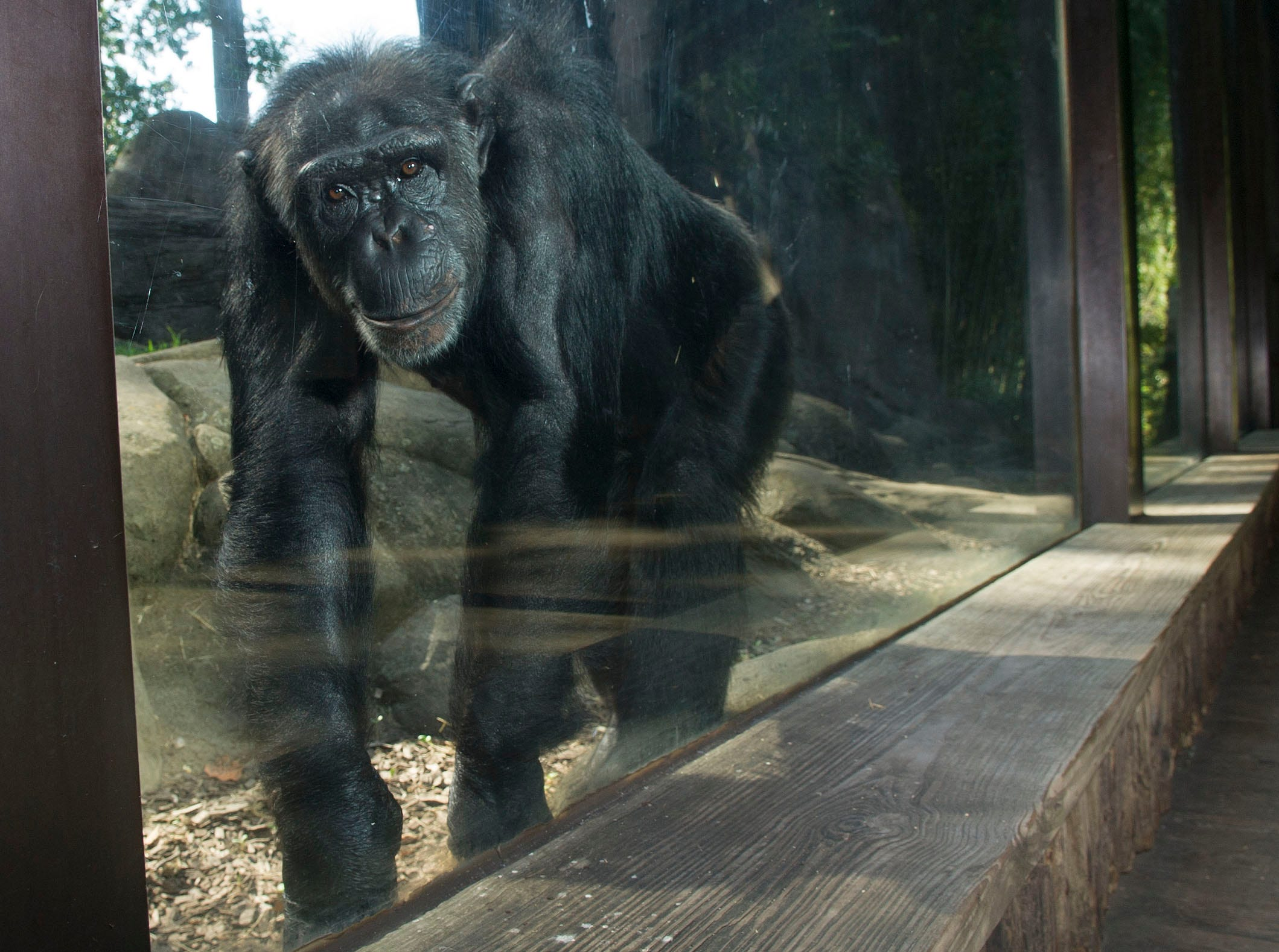 Binti, a chimpanzee, stands at one of the viewing areas of  Chimp Ridge at the Knoxville Zoo on Friday, Aug. 29, 2014.