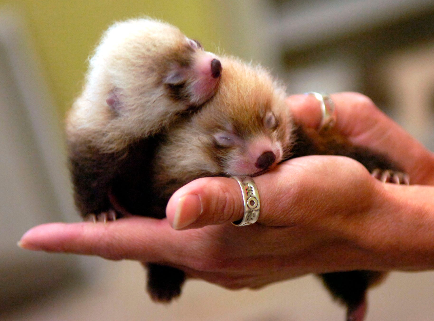 Sarah Glass holds the new red panda cubs, one male and one female, at the Knoxville Zoo on Friday. The cubs are a week old and were the ninety-third and ninety-fourth red panda cubs born at the Zoo.