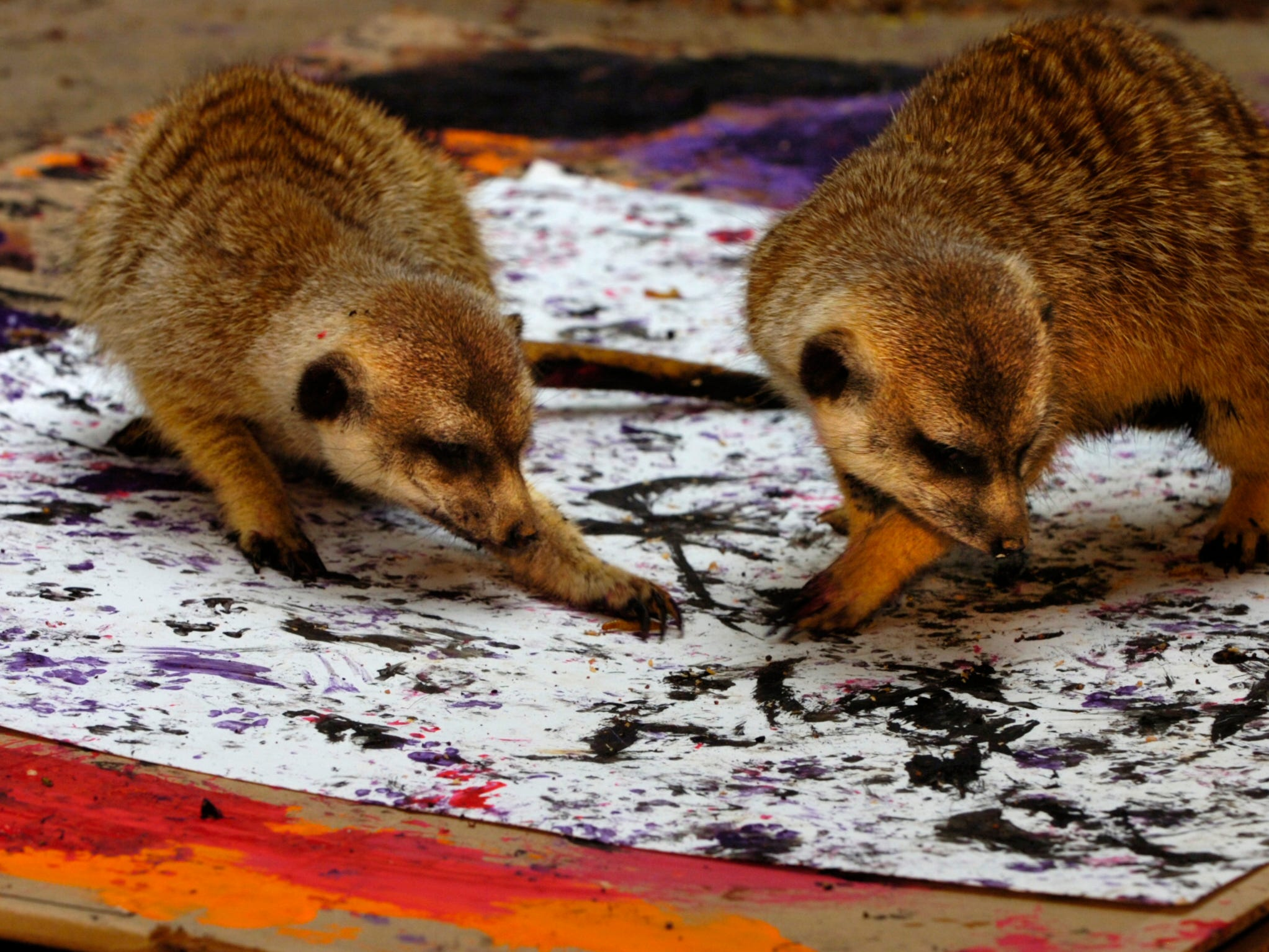 A pair of meerkats at the Knoxville Zoo scratch around for mealworms Wednesday with painted paws on a paper canvas as they create works of art.