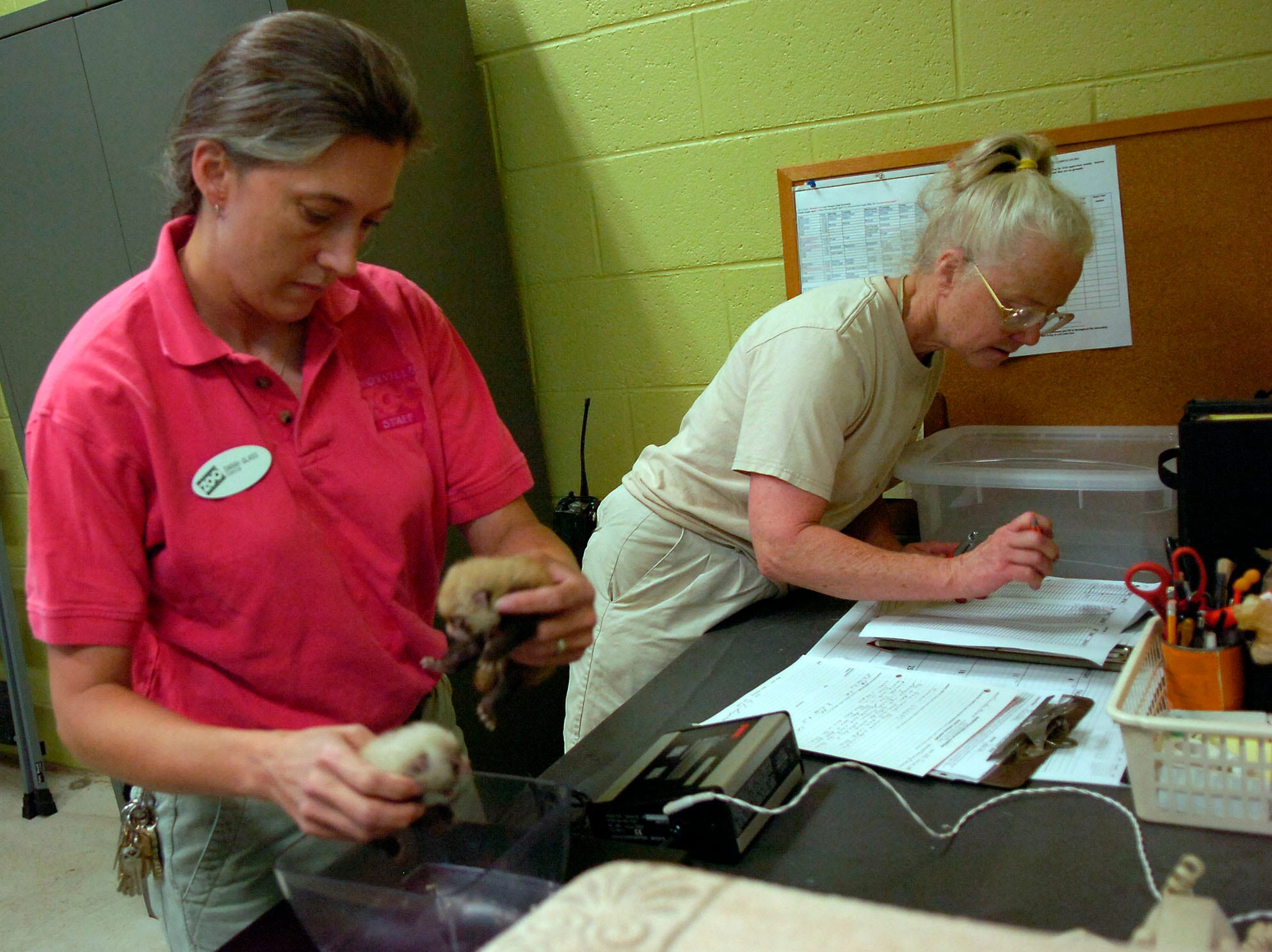 "Ann Scappaticci, right, zoo keeper, records the weight of the new red panda cubs at the Knoxville Zoo as Curator Sarah Glass places them on the scale on Friday. The parents of the cubs are ""Kumari"", a female from New Zealand, and ""Chewbacca,"" a male from Washington, D.C."