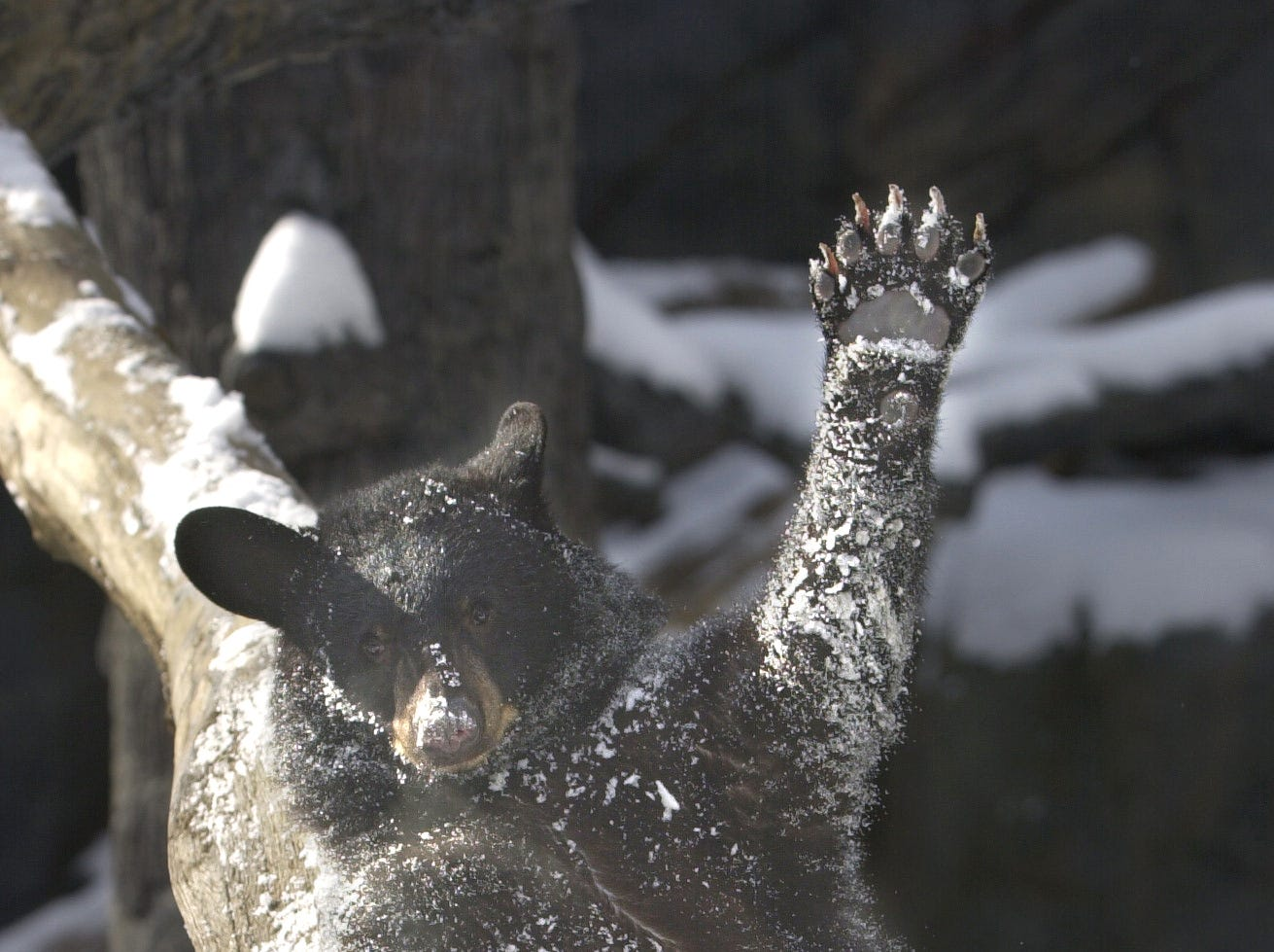 One-year-old Ursula frolics in the snow in the Black Bear Falls habitat Thursday, Jan. 23, 2003, at the Knoxville Zoo. The 80-pound bruin was making the most of her first taste of snow.