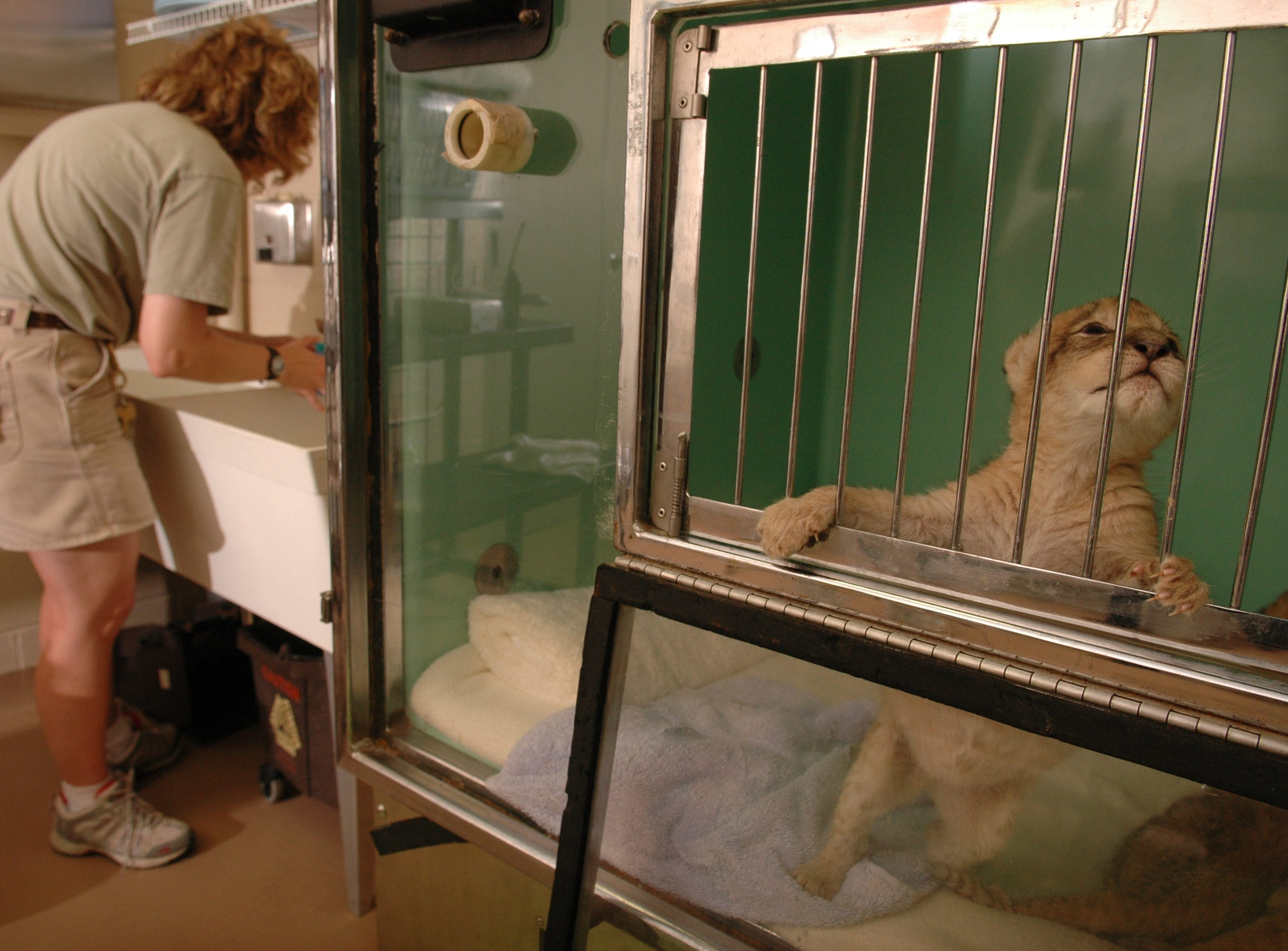 Zookeeper Kelly Creswell prepares to feed four lion cubs at the Knoxville Zoo that are being hand raised, because their natural moms are unable to take care of them.  This female cub is anxious for her bottle. 08/03/06