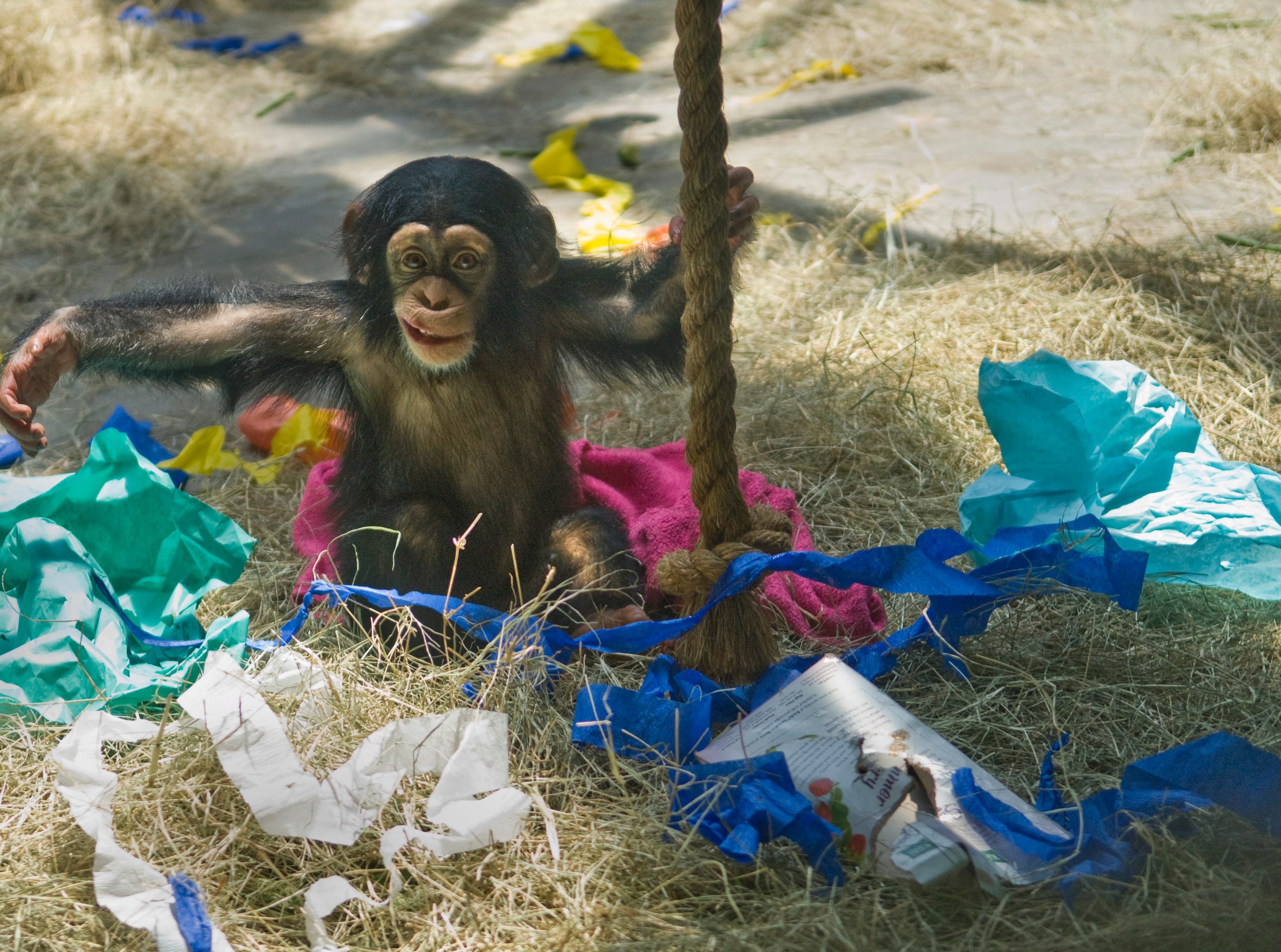 George, the baby chimpanzee at the Knoxville Zoo turns one year old, this week. George plays with streamers in the Knoxville Zoo chimpanzee exhibit on Tuesday, July 14, 2009.