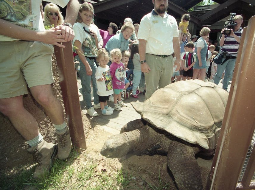 Big Al, a 550 pound Aldabra Tortoise, moves into his summer quarters in front of a large crowd of visitors at the Knoxville Zoo in May 1997.