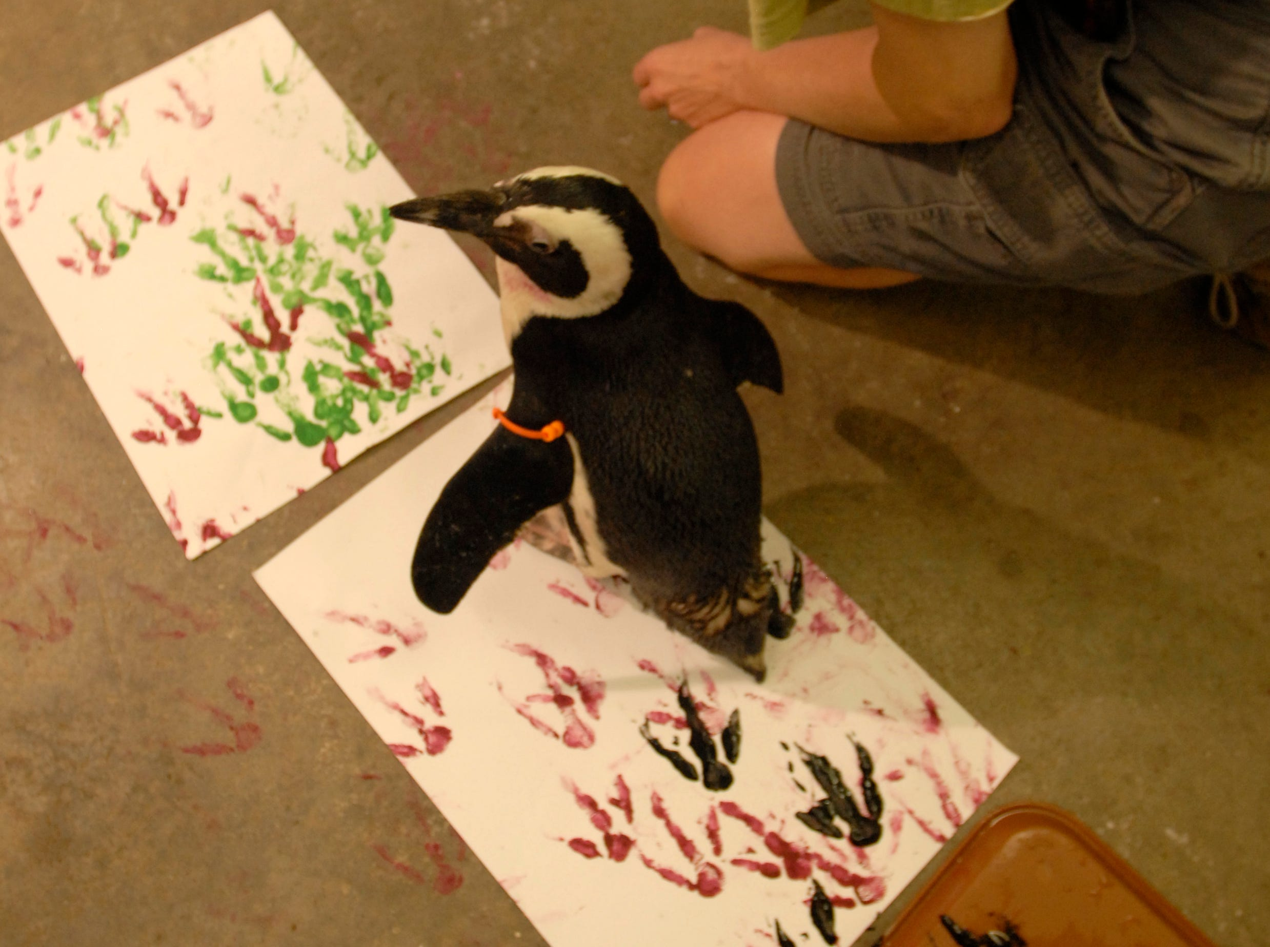 Tammy Walling, assistant curator of birds, looks on as a penguin named Jello creates a painting Wednesday at the Knoxville Zoo.