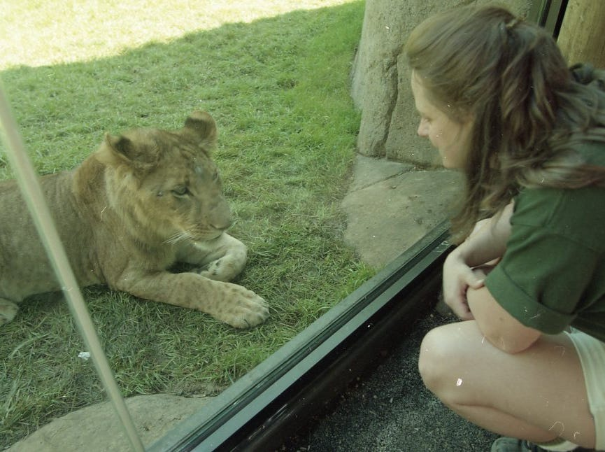 Lisa New, assistant curator of mammals, talks to Aslan through the glass at the new safari area of the Knoxville Zoo in April 1997.