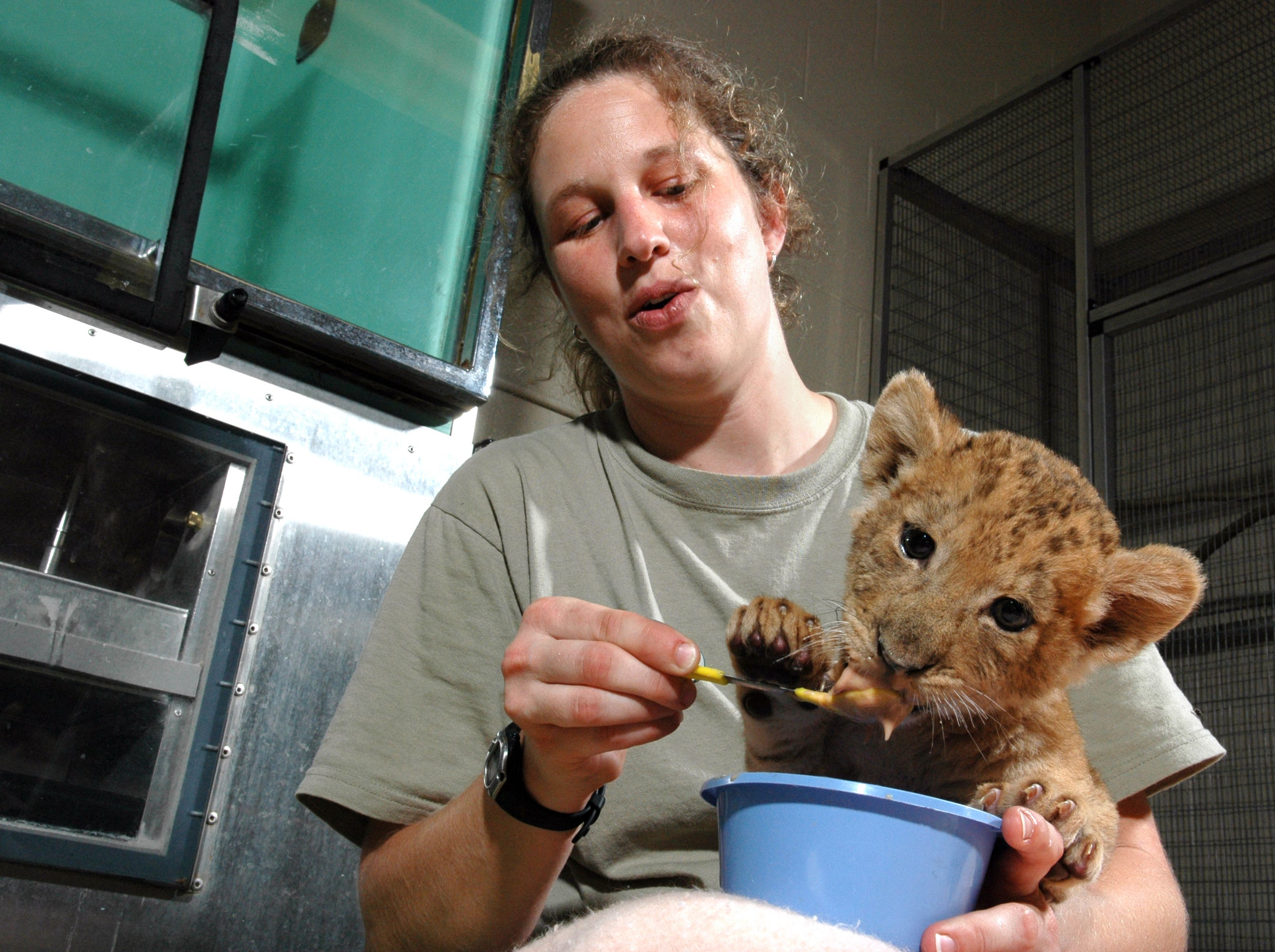 "Zookeeper Kelly Creswell works in the carnivore section at the Knoxville Zoo, taking care of the wolves, big cats and African wild dogs. Her new assignment is to hand-raise a female lion cub in the hope it can be re-introduced to its mother at a later date. ""I never thought I would be hand-raising a lion cub ... it's certainly an honor to be trusted to hand-raise a lion cub, but we would have much rather have had her being raised by her mom."" The challenge is to raise it with as little human interaction as possible.