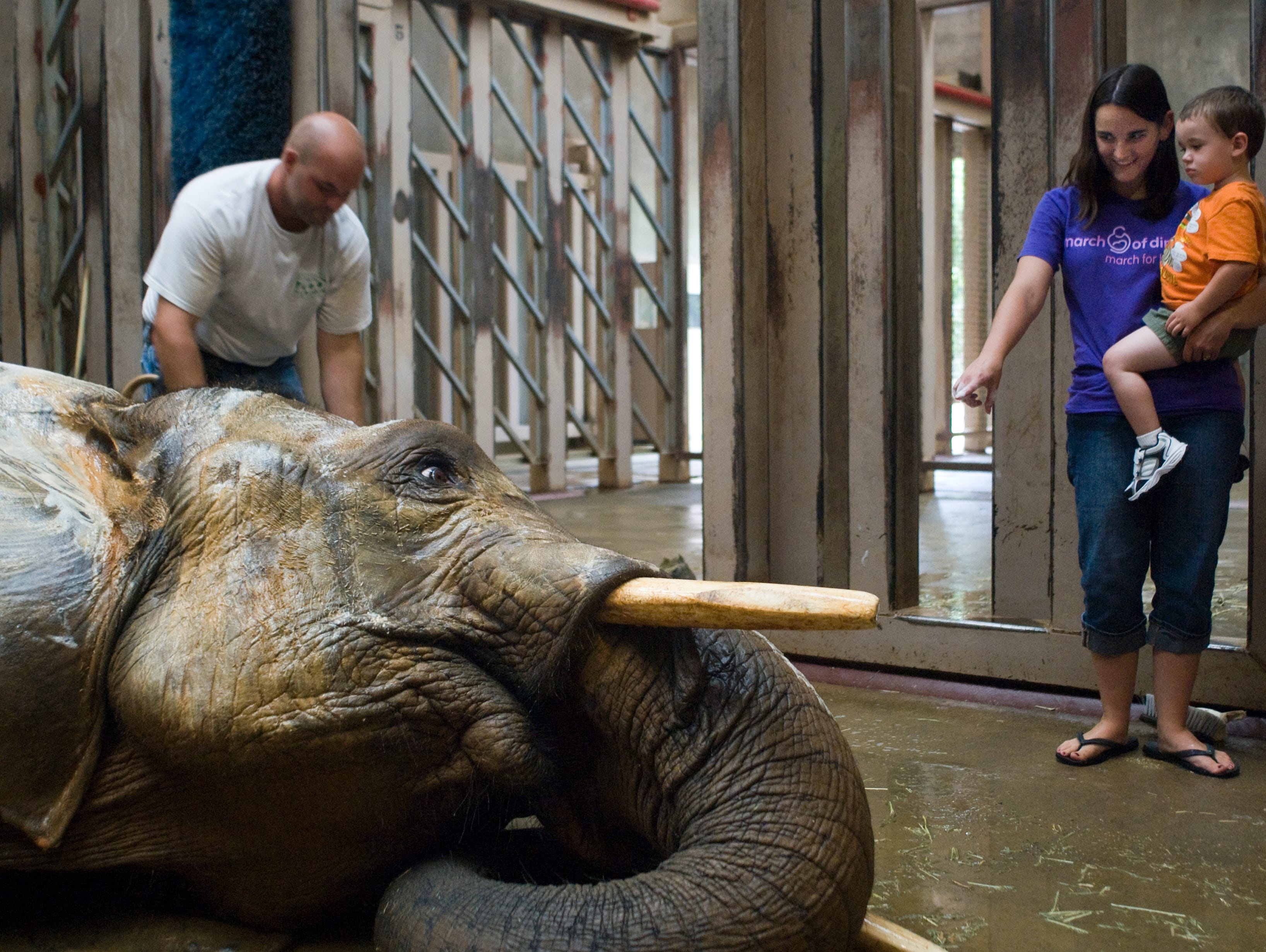 Nancy Weaver, and her son Andrew, 2, right, of Powell were Thursday's winner of the Knoxville Zoo's Sudsy Safari. Todd Naelitz, lead elephant handler at the Knoxville Zoo, sprays down Jana, a 9 foot tall, 9,500 pound, 28-year-old African elephant on Thursday, July 16, 2009. Jana was used for that day's Sudsy Safari, a new feature at the Knoxville Zoo where a family has the opportunity to help in the elephants' daily bath.