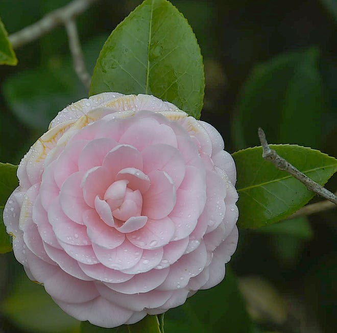 Camellias in bloom, up next the season of Spring.