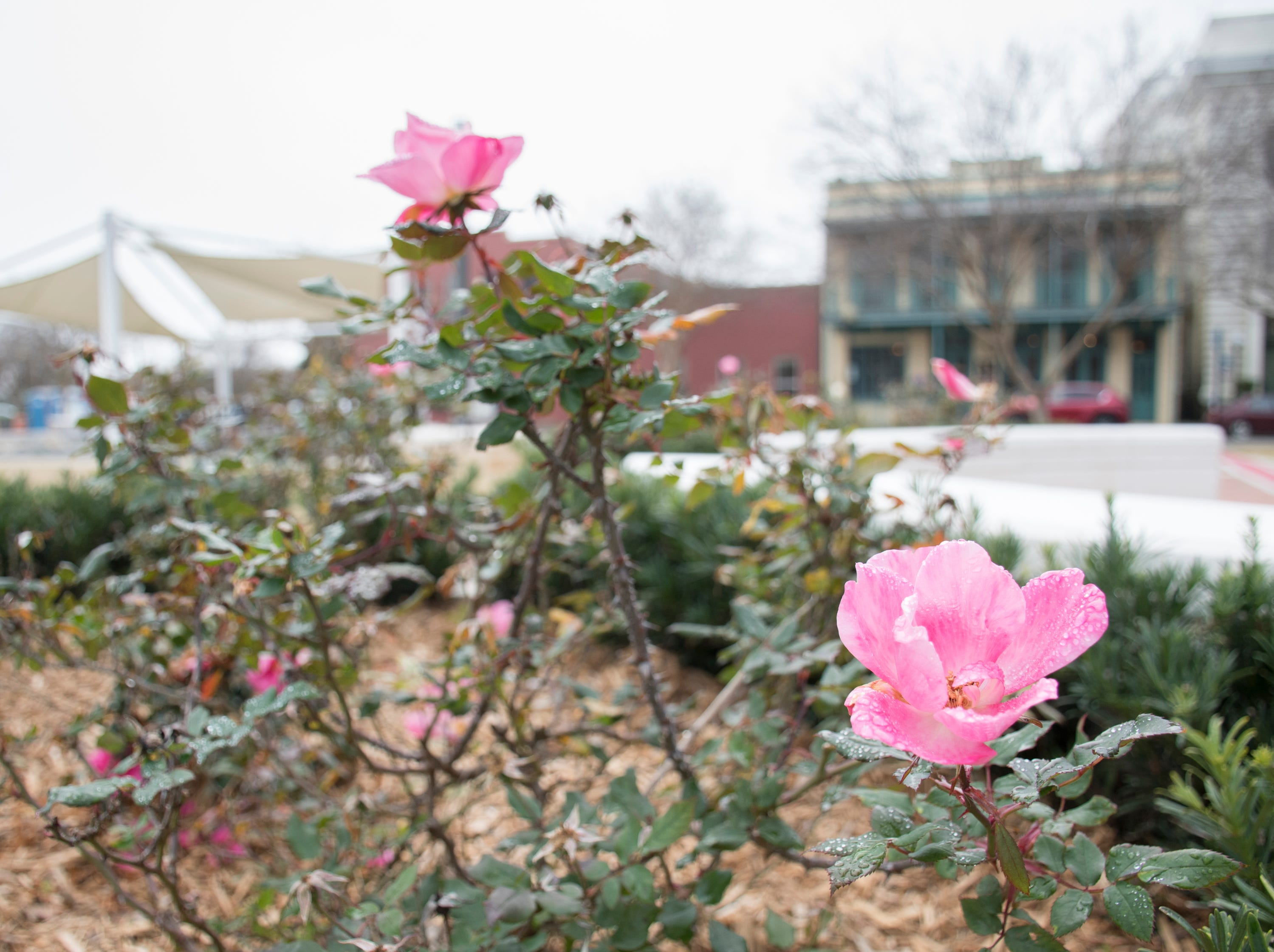 The rose garden at the Museum Plaza behind the T.T. Wentworth Museum in downtown Pensacola on Tuesday, February 5, 2019.