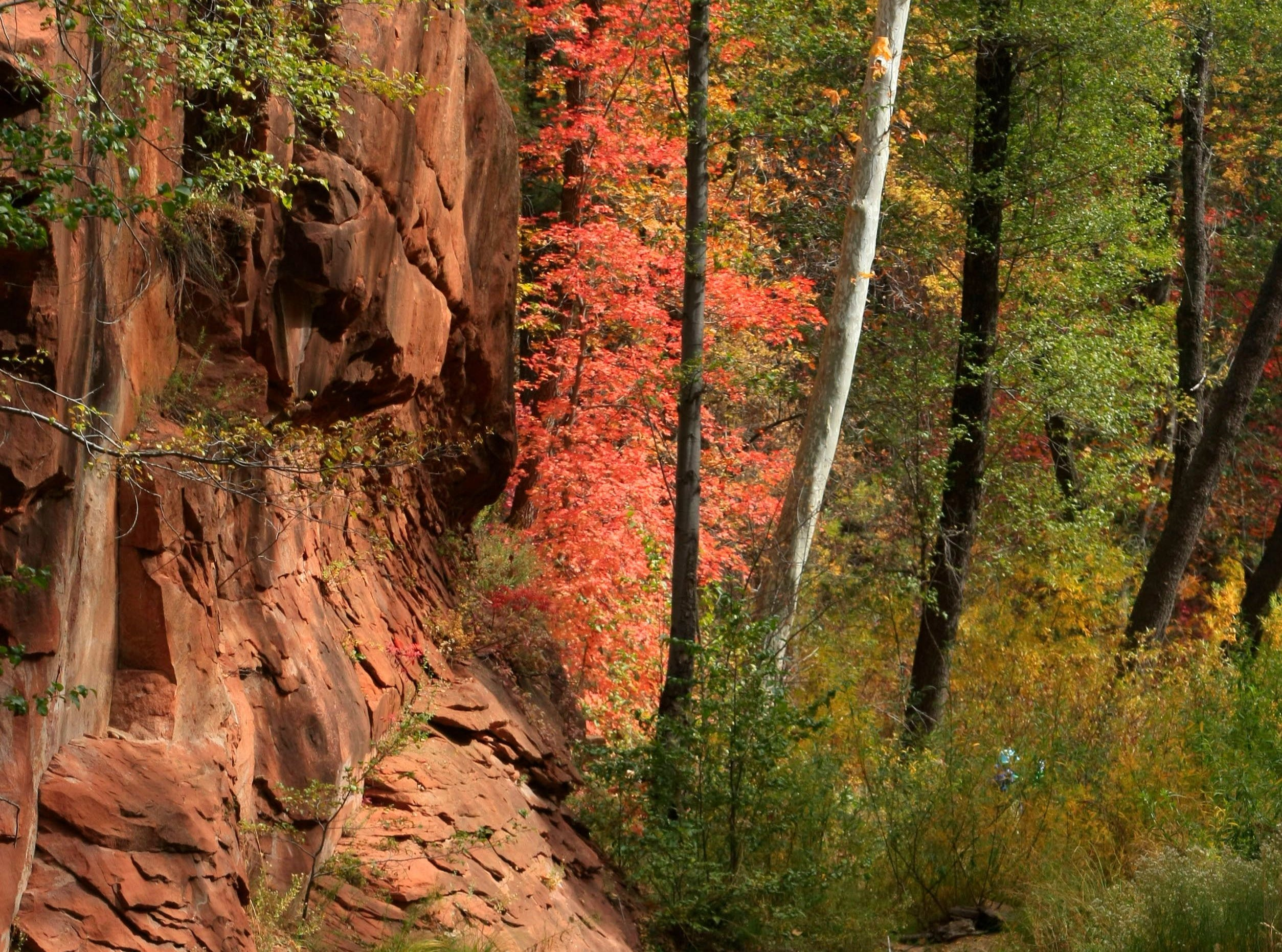 Autumn colors sweep through Oak Creek Canyon on the West Fork Trail north of Sedona.  Rob Schumacher/The  Republic Autumn colors sweep through Oak Creek Canyon on the West Fork Trail north of Sedona.