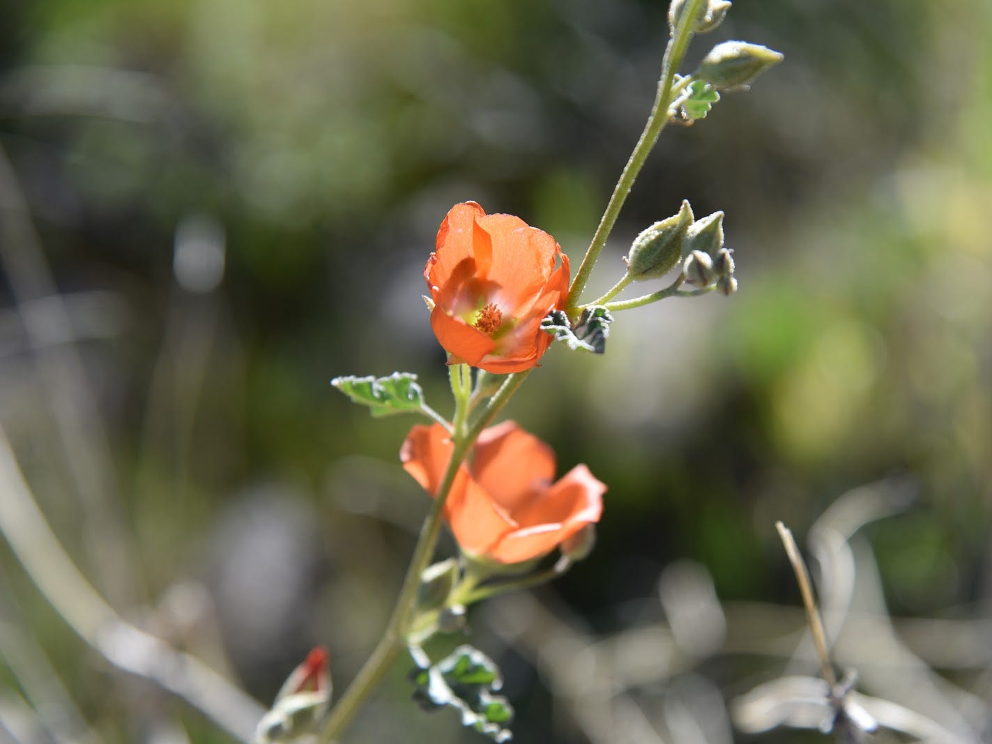 Globemallow is common in Mesquite Canyon.