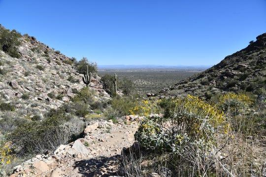Brittlebush grows along the Mesquite Canyon Trail.