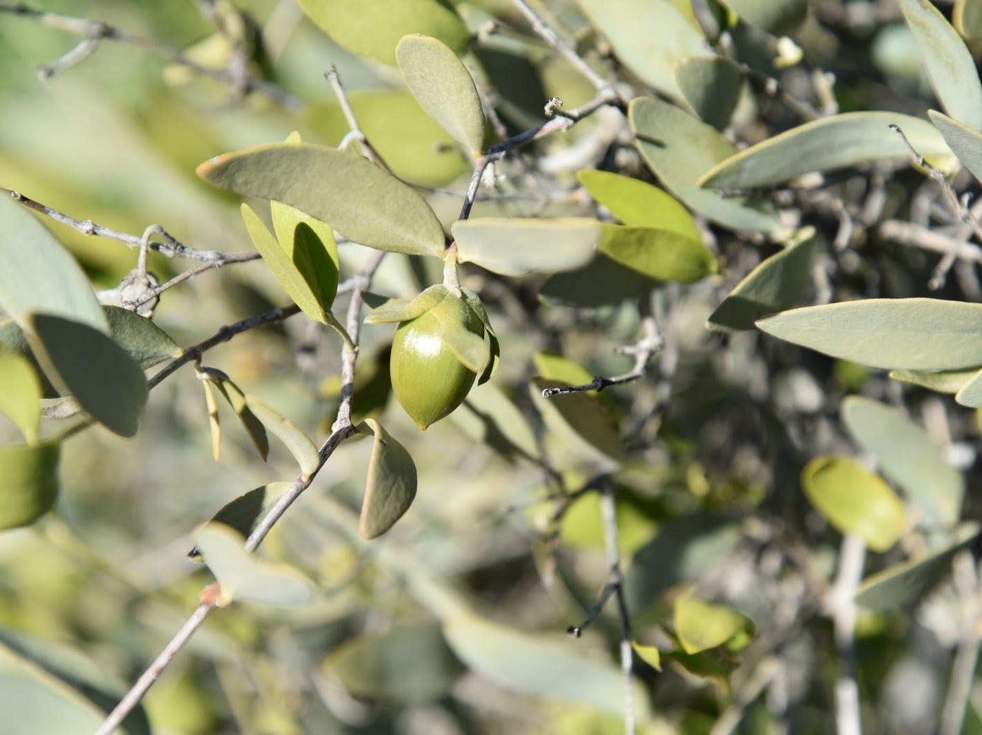 A fresh crop of jojoba fruits ripen on bushes.