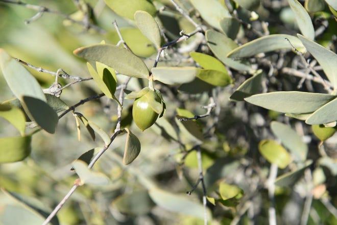 A fresh crop of jojoba fruits ripen on bushes.