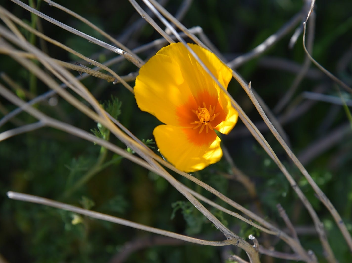 A lone Mexican gold poppy hides among dry grasses.