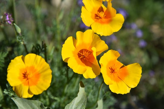 Mexican gold poppies open in daylight.