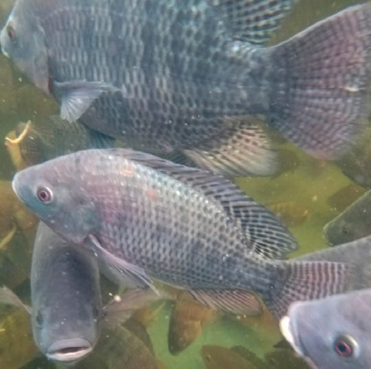 An Egyptian breed of tilapia are raised at Dayton Valley Aquaponics outside Dayton, Nev. Crops like tomatoes and chilis use the fish waste for nutrients.