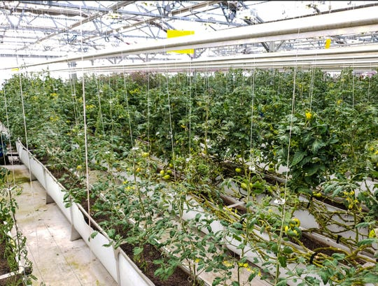 At Dayton Valley Aquaponics, ranks of trellised tomatoes are grown in a 30,000-square-foot greenhouse using fish waste from tanks of tilapia. The plants have triple the life they would in the field, farmers report.