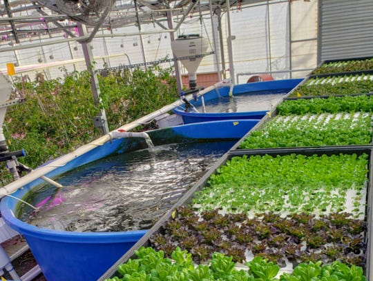 At Dayton Valley Aquaponics, hydroponic crops are fertilized by fish waste. Water filtered by the crops is returned to the tanks, benefiting the tilapia.