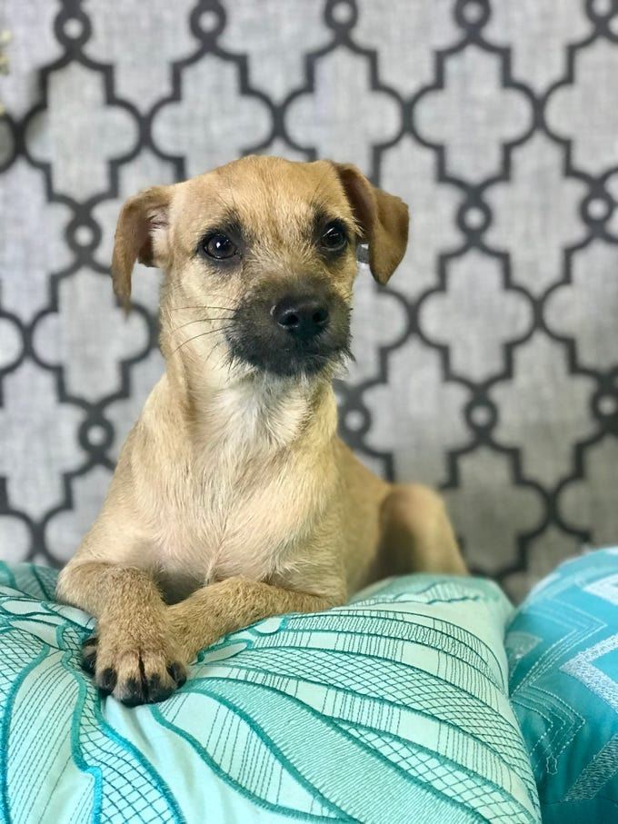Everest is a 9-10-month-old, male, terrier mix puppy. He's house and leash manners, does well with other dogs and cats, and would be great for a family with children ages 8 and older. He's spunky, but has a calm side and likes to snuggle. Visit Tails of Rescue Adoption Center, 981 Lake Blvd., Redding. Call 448-7444. Go to http://tailsofrescue.org.