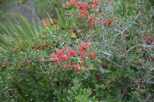 Yaupons are currently producing red berries which attract a variety of birds looking for a quick meal. The brilliant color is a bright spot in natural areas, and in some landscape.