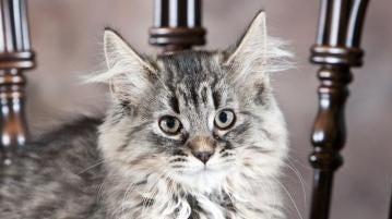 Fuzzball, pretty much the most 'purrfect' feline around | Marathon County Pet of the Week