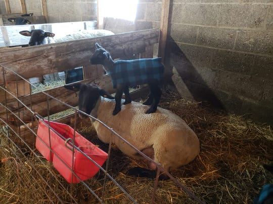 Sporting his little plaid lamb coat, this lamb gets a good look around from atop his mother.