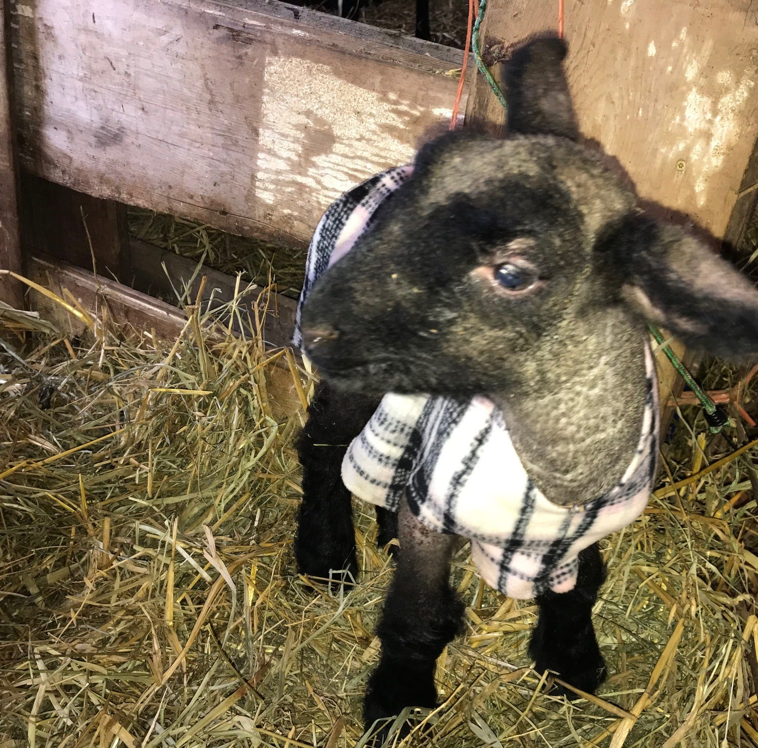 Fleecy fashions protect lambs from winter's big chill