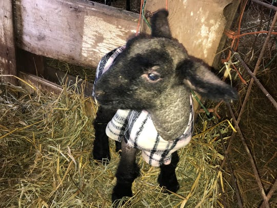 In winter lambing flocks, hypothermia and starvation of newborn lambs account for nearly all the pre-weaning death loss of lambs.
