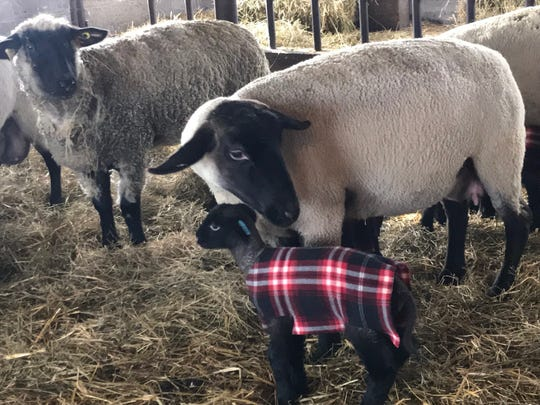 The little lamb jackets do not appear to interfere with maternal bonding between mom and baby.