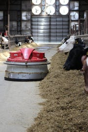 A robot pushes up feed in a free stall barn at a Wisconsin farm.
