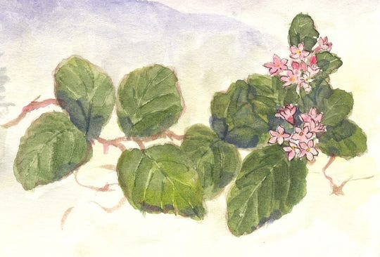 Trailing Arbutus is one of  the earliest spring wildflowers.