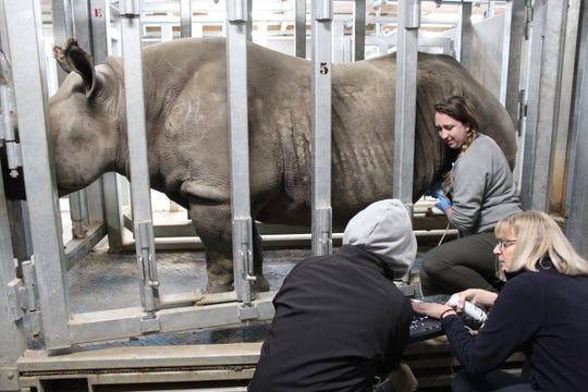 Ayana, Blank Park Zoo's female eastern black rhino, is pregnant for the second time in less than three years.