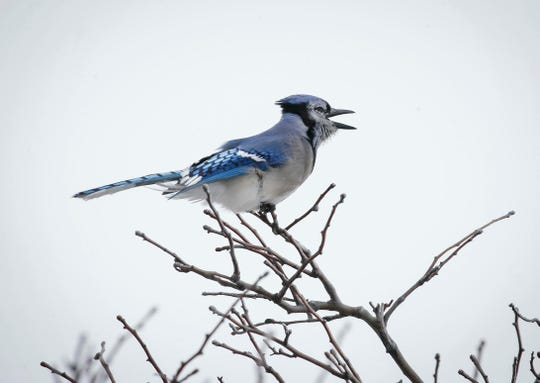 A blue jay faces a blast of cold wind in West Des Moines on Thursday, Feb. 7, 2019, as another round of winter weather hit parts of central Iowa.