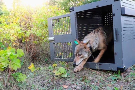 This Wednesday, Sept. 26, 2018, file photo provided by the National Park Service shows a 4-year-old female gray wolf emerging from her cage at Isle Royale National Park in Michigan. A gray wolf that was moved from Minnesota to Isle Royale National Park in the fall of 2018 has wandered back to the mainland, trekking more than 15 miles across the frozen surface of Lake Superior to reach her home turf, officials said Wednesday, Feb. 6, 2019. The female was among four wolves relocated from the Grand Portage Band of Lake Superior Chippewa reservation in September and October, the first steps in an effort to restore the species at the park, where a predator is needed to prevent moose overpopulation.