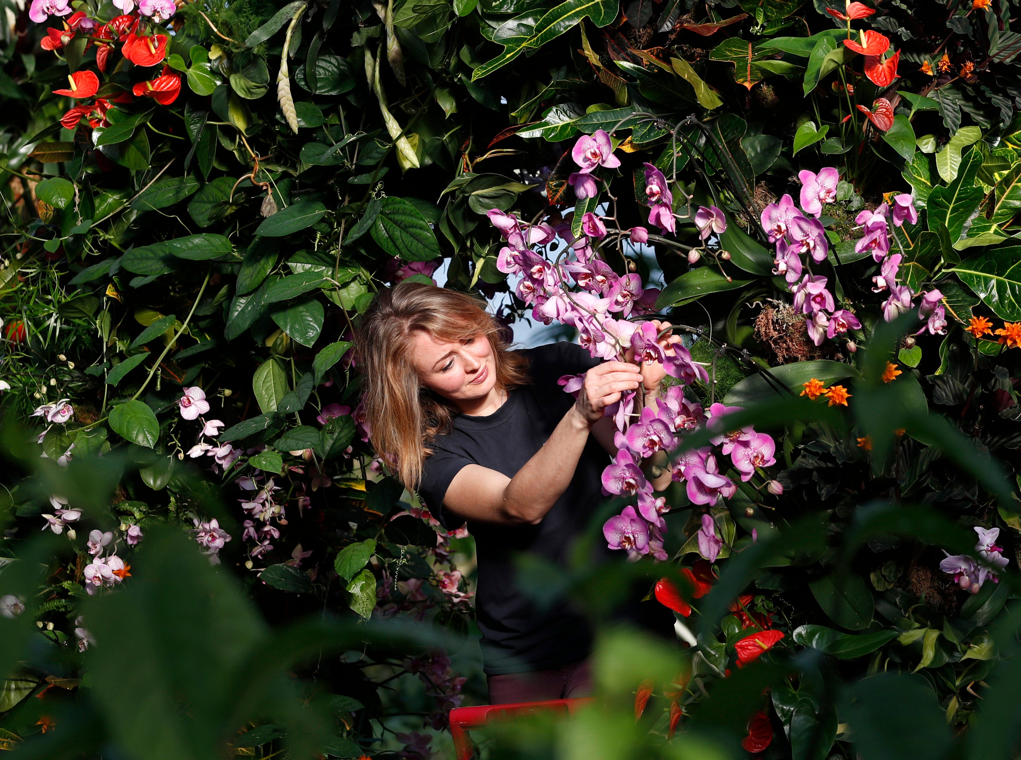 Hannah Button, a botanical horticulturist, attends to a display of orchids at the Kew Gardens Orchid Festival during a press preview in London, Thursday, Feb. 7, 2019. The display of some 6,200 orchids took 30 days to complete, with the central display showing off the biodiversity of Colombia which is home to more species of orchid than anywhere else in the world. The display opens to the public on Feb. 9.