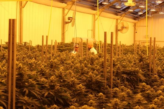 Standard Wellness' Gibsonburg medical marijuana cultivation facility has 800 plants growing in this greenhouse. The medical marijuana facility has two greenhouses currently operating, with plans to bring two additional greenhouses online.