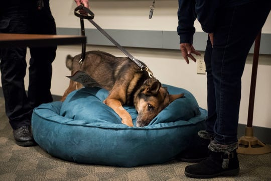 Larimer County Sherriff's Department retiring K9 deputy Ryker dives into the bed being presented to him as a retirement gift from Larimer Retired K9 Foundation president Barbara Bennett, right, while being held by his handler deputy Aaron Hulme, left, on Wednesday, Feb. 6, 2019, at the Larimer County Sheriff's Department in Fort Collins, Colo.