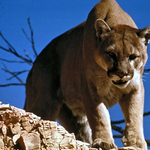 Horsetooth Mountain Open Space reopens after mountain lion attack, removal of 2 lions