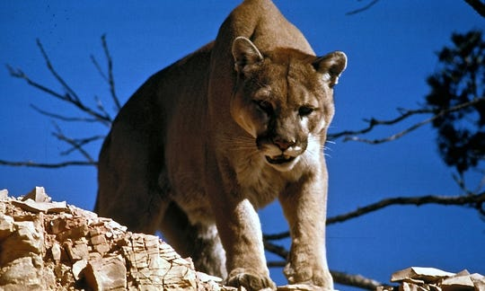 Colorado is home to an estimated 4,000 to 5,500 mountain lions.