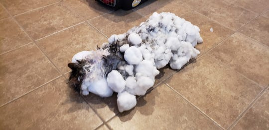 """This Jan. 31, 2019, photo provided by an anonymous source shows a cat named """"Fluffy,"""" covered in snow and ice after her owners found her in a snowbank in Kalispell, Mont. Veterinarians in Montana revived Fluffy that nearly froze to death after being found in a snowbank covered from head to tail in ice and snow. (AP Photo)"""