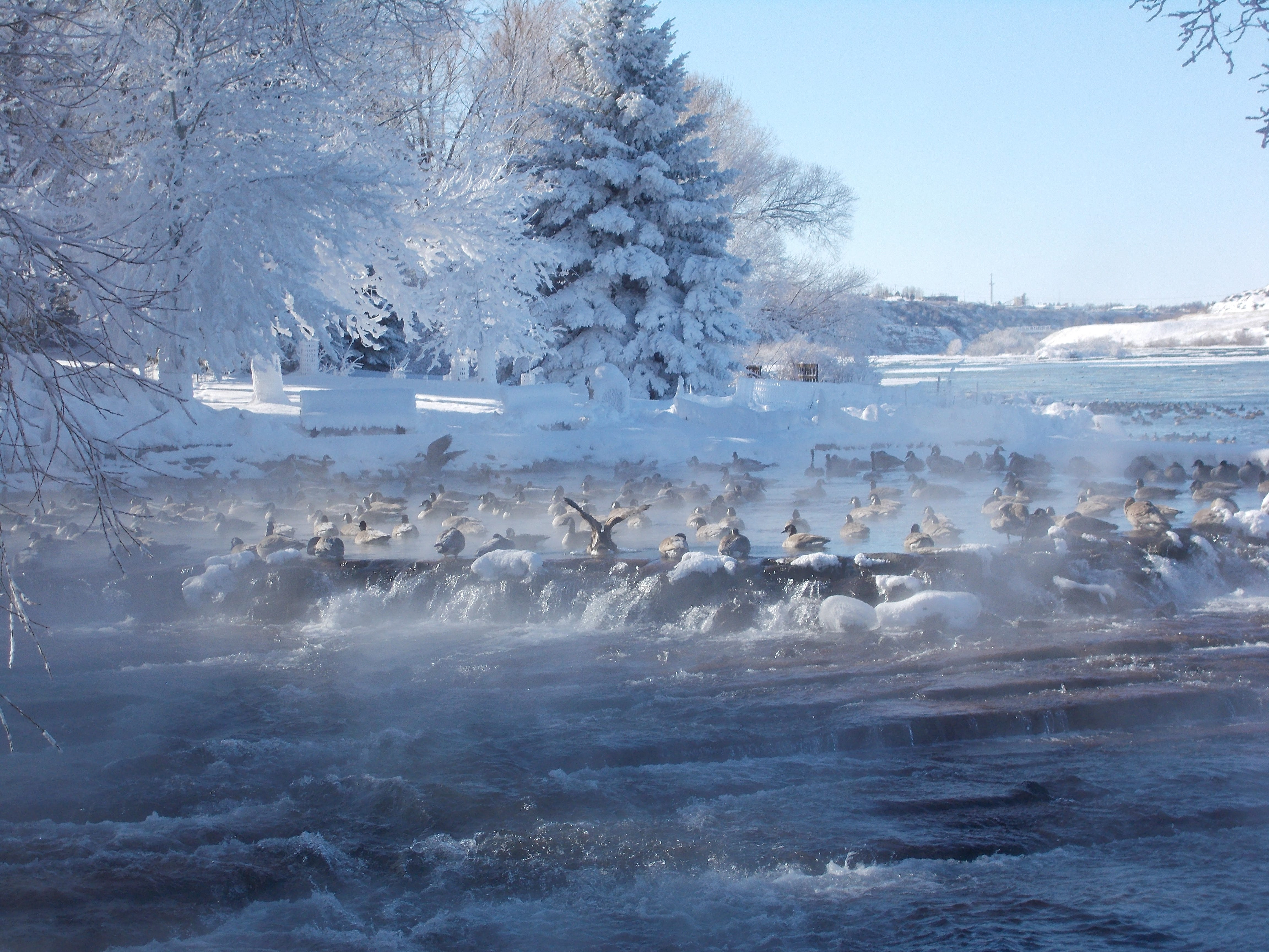 Canada geese flocked to Giant Springs State Park Thursday when the temperature was 21 degrees below zero to start the day.