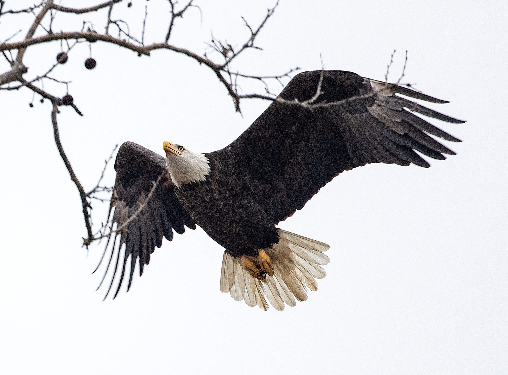 The Greenfield Eagle glides to a tree near its nest in a grove of trees near the intersection of Hickory Blvd and E New Road in Greenfield.