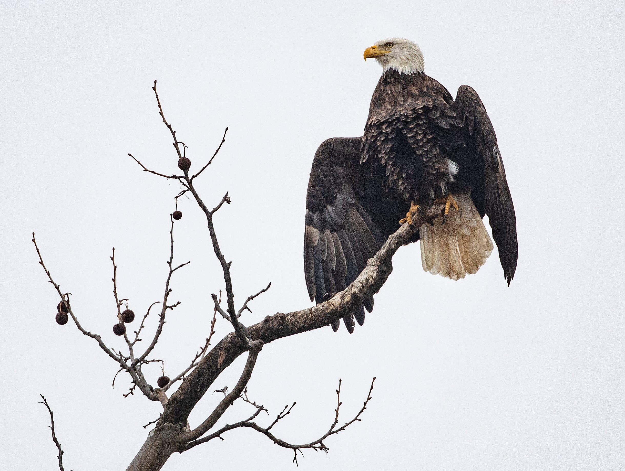 The Greenfield Eagle sits on a tree airing out his feather near its nest in a grove of trees near the intersection of Hickory Blvd and E New Road in Greenfield.