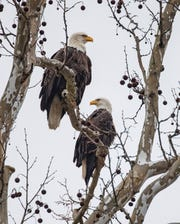 The Greenfield Eagles sit perched in a tree near their nest in a grove of trees near the intersection of Hickory Blvd and E New Road in Greenfield. The Bald Eagles' nest is on private property but can be viewed from the road. The neighbors and land owners ask that you do not park on the roads to view the eagles. It is best to park near a nearby Home Depot and walk east three blocks to view the eagles.