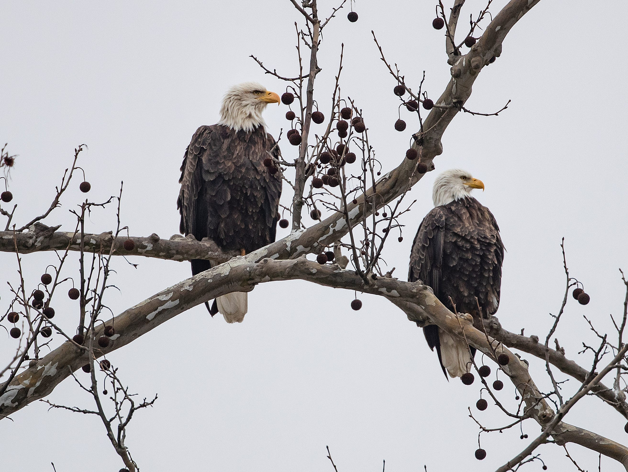 The Greenfield Eagles sit perched in a tree near their nest in a grove of trees near the intersection of Hickory Blvd and E New Road in Greenfield. The eagles' nest is on private property but can be viewed from the road. The neighbors and land owners ask that you do not park on the roads to view the eagles. It is best to park near a nearby Home Depot and walk east three blocks to view the eagles.