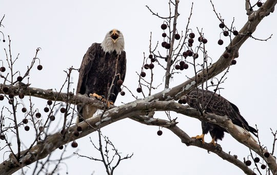 A bald eagle sit perched in a tree near their nest in a grove of trees near the intersection of Hickory Boulevard and E. New Road in Greenfield.